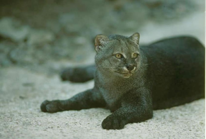 Suggests that jaguarundis that you are eight subspecies of cats were