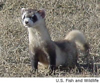 characteristics of the black footed ferret mustela nigripes The black-footed ferret (mustela nigripes) is one of the most endangered species in north america an endangered species is a species of organisms facing a high rick of extinction generally this is caused by changes in the animal's habitat this could be changes in living conditions or food sources.