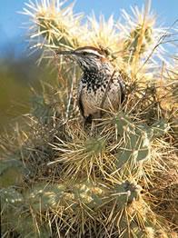 Cactus Wren in a cactus