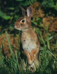 This Week In Nature: Peter Cottontail comes to campus