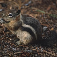 Golden Mantled Ground Squirrel Info