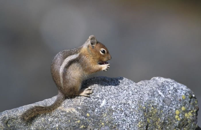 Who Is Your Pest GoldenMantled Ground Squirrel or Chipmunk
