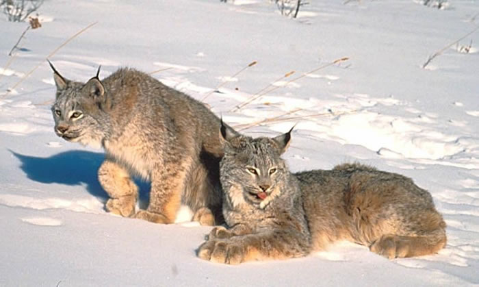 Canadian and Alaskan Animals Lynx3