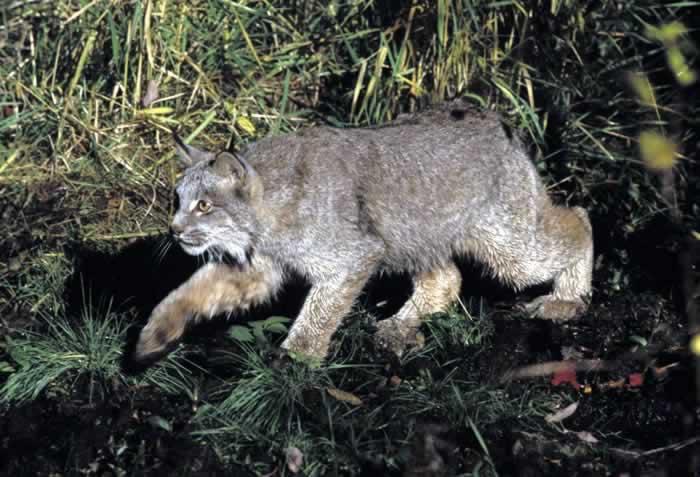 Canada Lynx - Lynx canadensis - NatureWorks