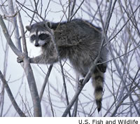 raccoon5sm.jpg