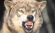 wolf10a