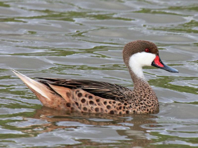 CUBAN BIRDS - ANSERIFORMES - Ducks, Geese, Swans  Wildlife ...