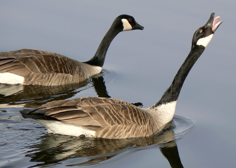 Whistling Swan, Canada Goose', Black Brant, male and female