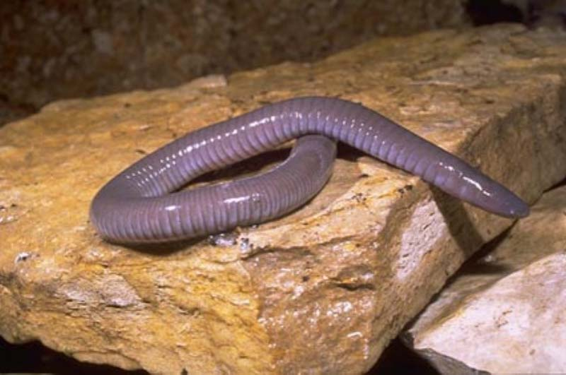 Eels New Zealand freshwater fish
