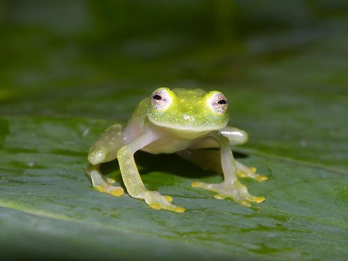 Image result for Glass Frog (Hyalinobatrachium pellucidum)