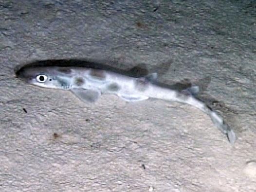 Cat Shark | Scyliorhinidae Cat Sharks Wildlife Journal Junior