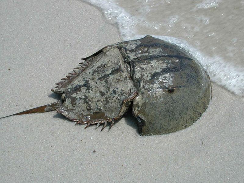 Horseshoe Crab Mouth Horseshoe Crab Limulus