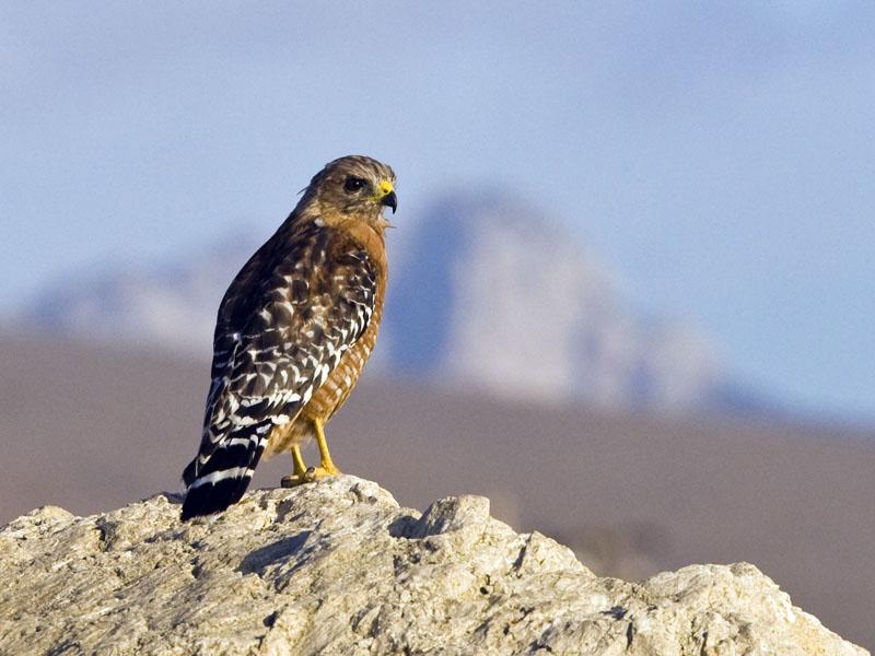 Desert Hawk Animal Red-shouldered Hawk - Buteo