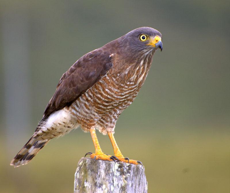 harrier hawk