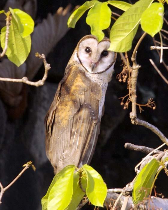 Tytonidae - barn owls | Wildlife Journal Junior - photo#10