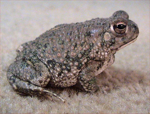 Bufonidae - True Toads | Wildlife Journal Junior Poisonous Green Frogs In Texas