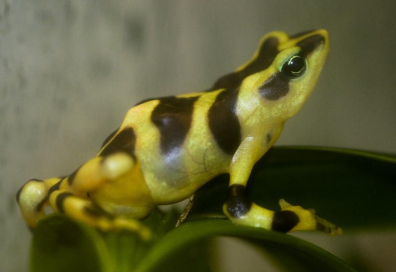Atelopus frog poisonous - photo#28