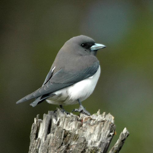 Artamidae wood swallows butcherbirds currawongs for Oiseau gris et blanc