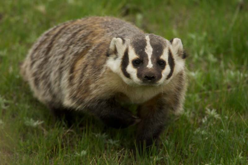 Pictures Of Badgers 18