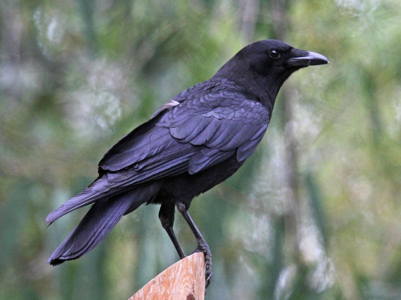American Crow Corvus Brachyrhynchos Wildlife Journal Junior - Bird map of the us crows