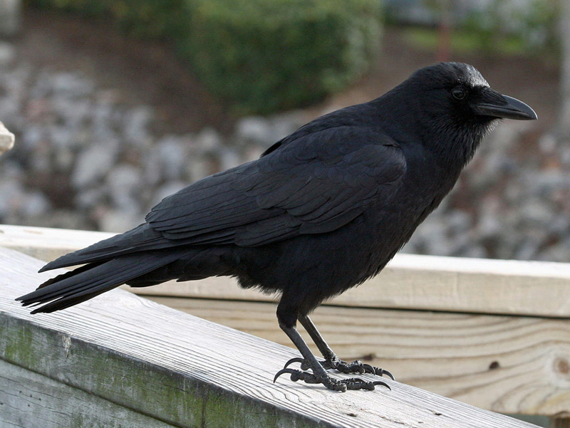 American Crow   Birds of North America Online
