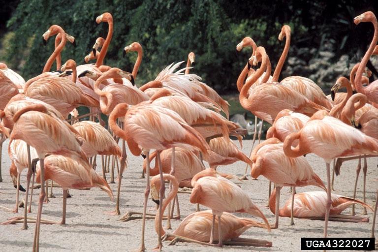 American flamingo Phoenicopterus ruber Wildlife Journal Junior