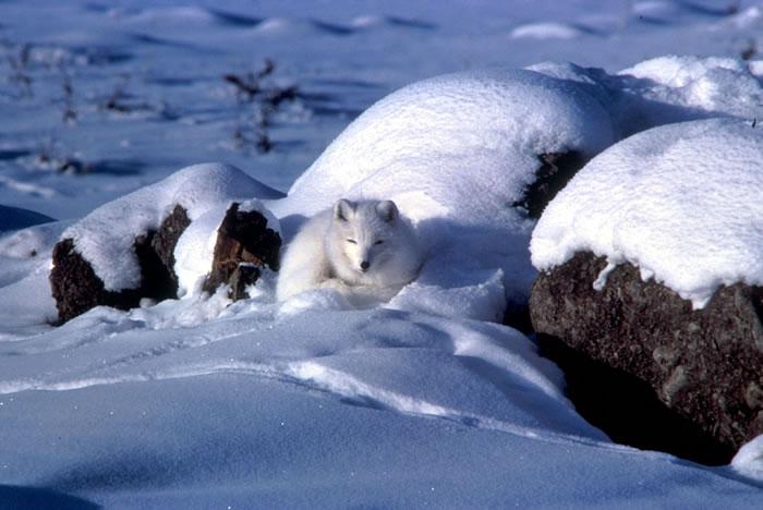 Arctic Fox - Alopex lagopus - NatureWorks