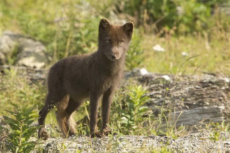 Arctic Fox Alopex Lagopus Natureworks