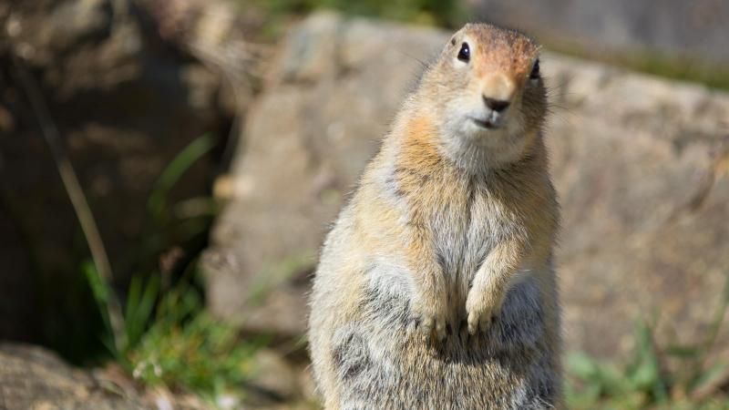 What does a ground squirrel look like