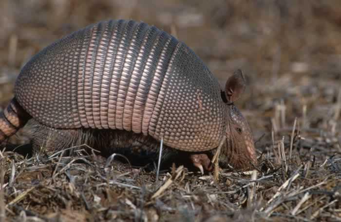 Nine banded armadillo dasypus novemcinctus natureworks - Animal qui mange les fourmis ...