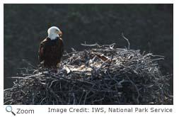 Bald Eagle - Haliaeetus leucocephalus - NatureWorks