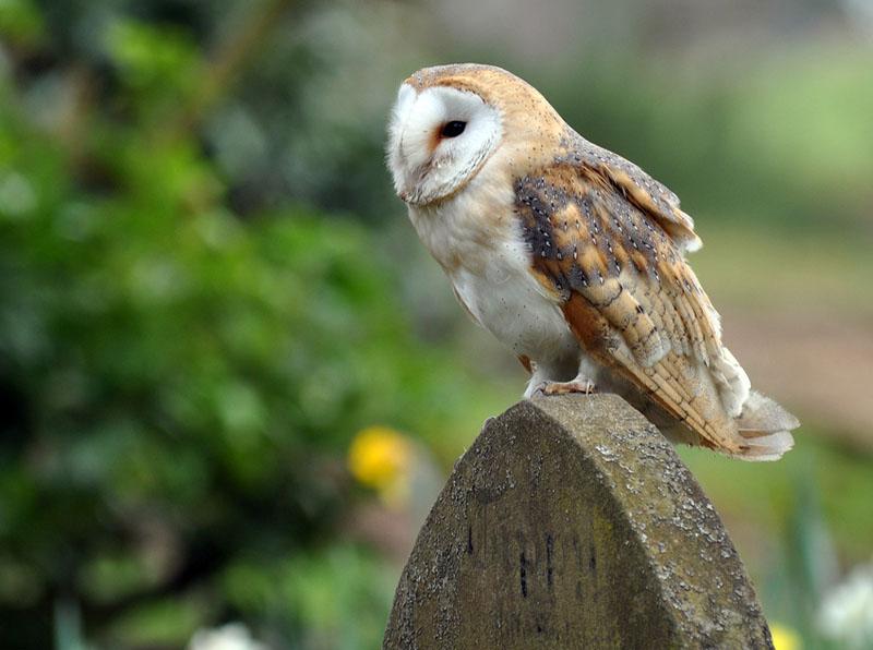 Tytonidae Barn Owls Photo Gallery Wildlife Journal Junior