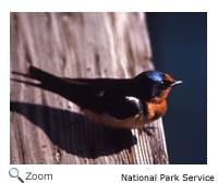 Barn Swallow Hirundo Rustica Wildlife Journal Junior