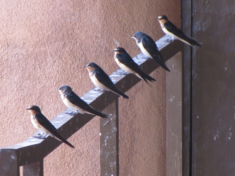 Barn Swallow Hirundo Rustica Natureworks
