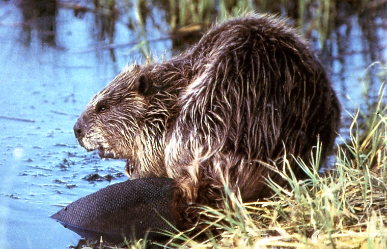Mammal beavers diet