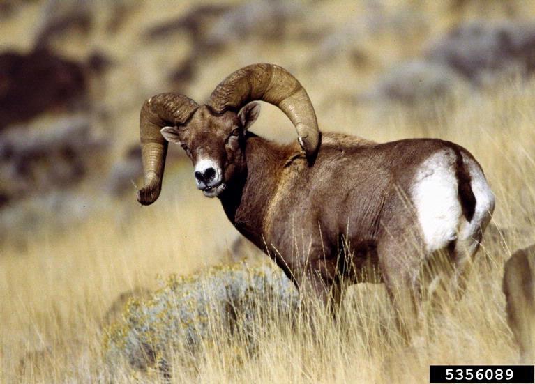 Ram Big Horn >> Big Horn Sheep - Ovis canadensis - NatureWorks
