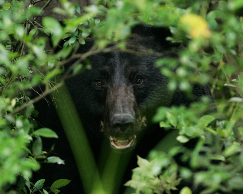 American Black Bear - Ursus americanus - NatureWorks