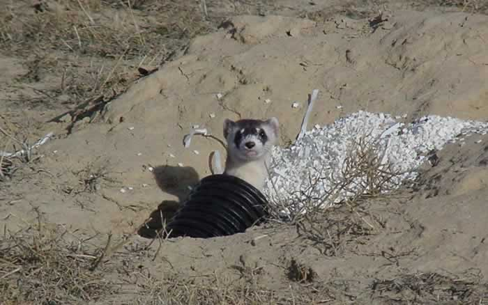 Black-footed Ferret - Mustela nigripes | Wildlife Journal ...