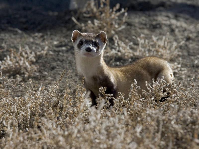 Black-footed Ferret - Mustela nigripes - NatureWorks