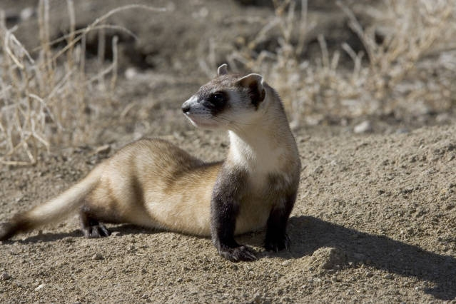 What is a ferret's natural habitat?