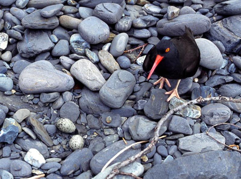 black oystercatcher essay Our black oystercatcher pair was the first to reproduce in a zoological setting pc: brent mcwhirter.