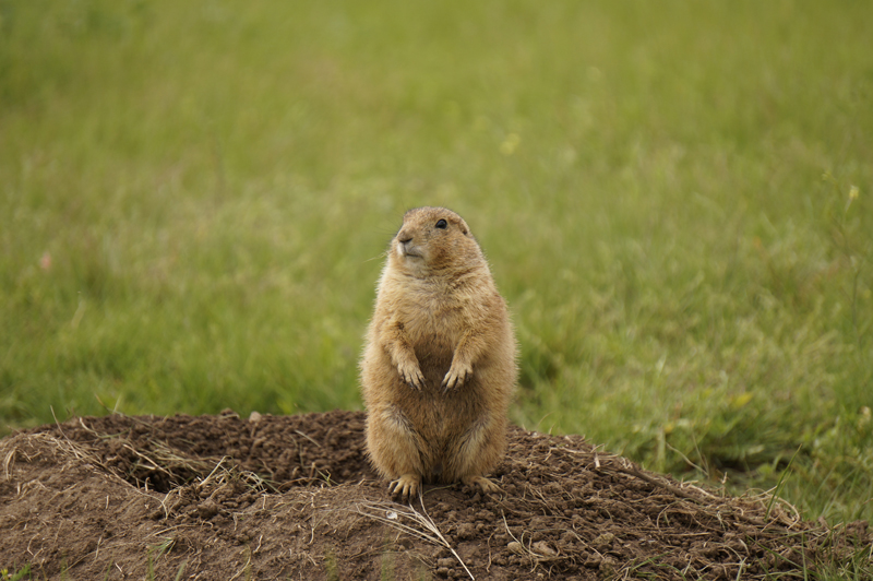 Black Tailed Prairie Dog Texas