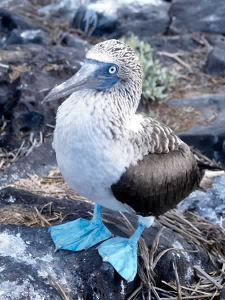 Blue footed booby sula nebouxii wildlife journal junior