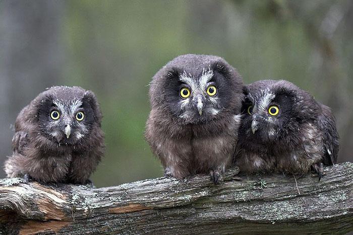 Boreal Owl Aegolius Funereus Wildlife Journal Junior