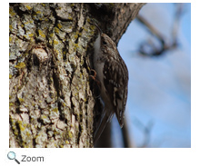 brown creeper coloring pages - photo#21