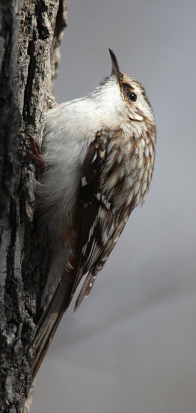brown creeper coloring pages - photo#33