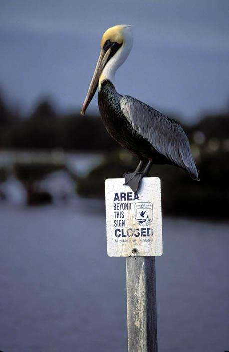 brown pelican pelecanus occidentalis natureworks Brown Pelican Diagram Deepwater Horizon brant the brown pelican