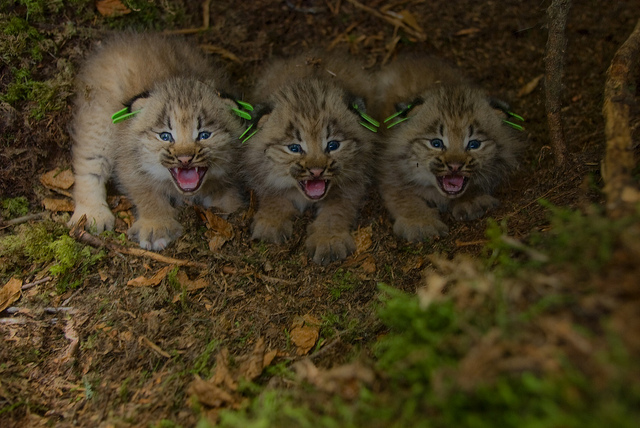 Domestic Wild Cats  Home
