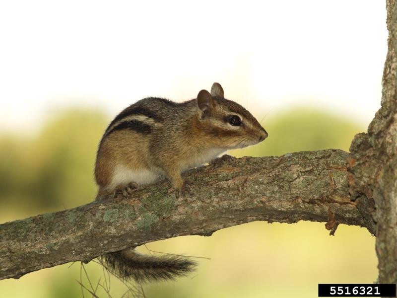 eastern chipmunk tamias striatus natureworks
