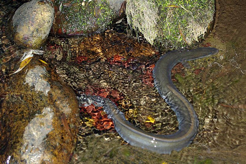 Freshwater eel